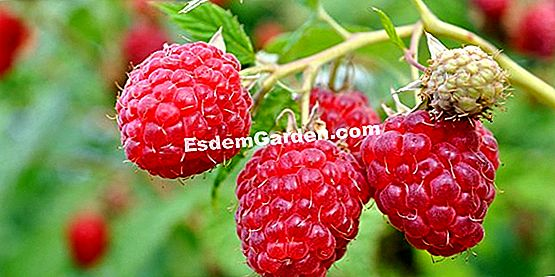 Raspberry Cultivation and Care Sheet