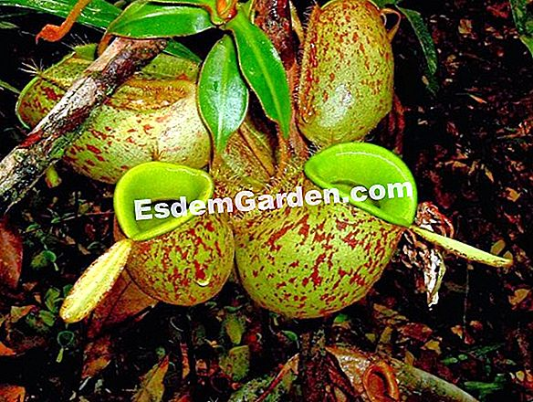 Nepenthes tumbuhan