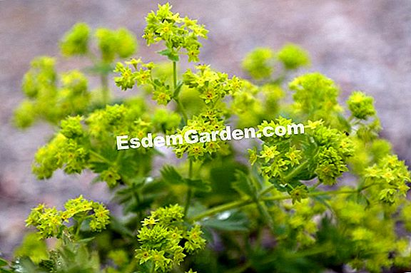 Alchemilla mollis, Coat of our lady
