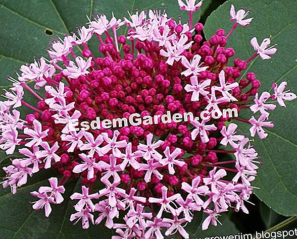 Clerodendron of China