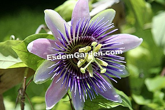 Clematis ardente, chama Clematis, pimenta Clematis, Clematis perfumado