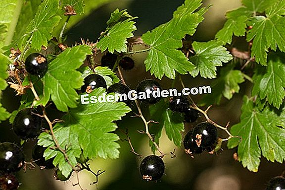 Gooseberry (Currant)