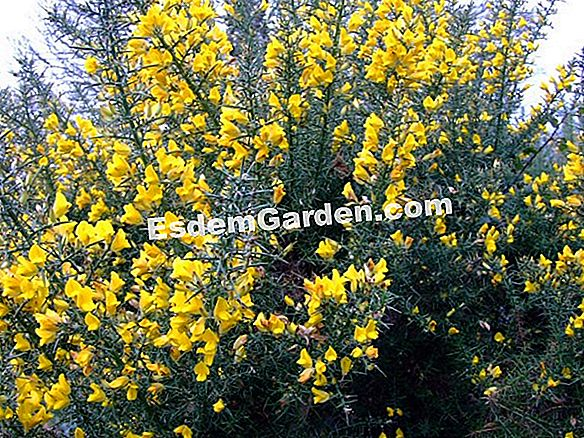 Gorse of Europe