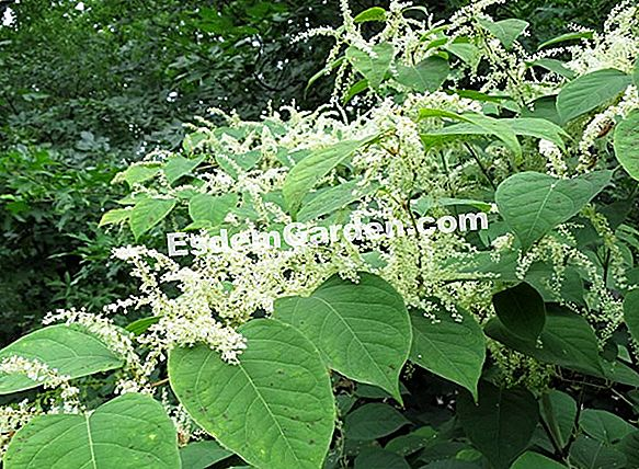 Knotweed, Persikara Microcephalic