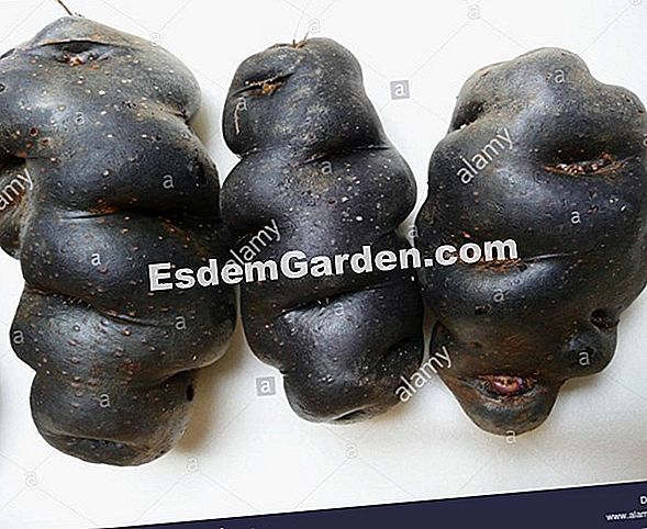Black Vitelotte kentang, Negress, truffle Cina