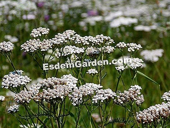Yarrow, Herbs Carpenters