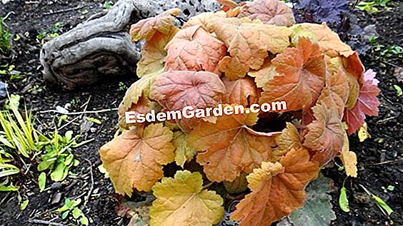 Heuchera 'Secret Dark'