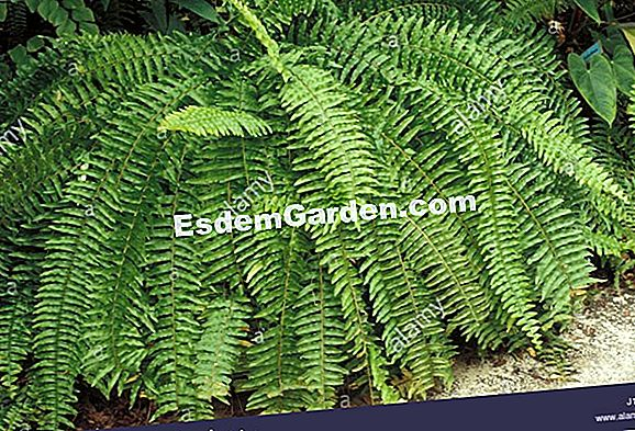 Nephrolepis exaltata - fern Boston