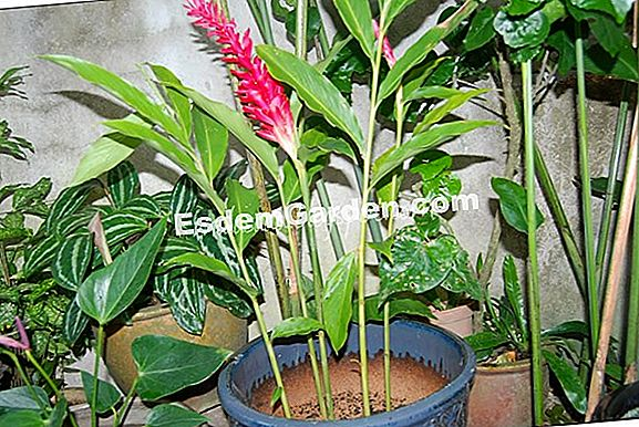 Halia merah, Alpinia purpurata