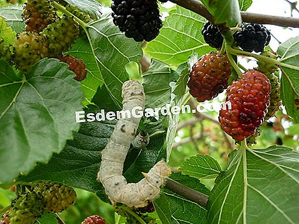 Tumbuhan Edible Liar: Autumn Picking