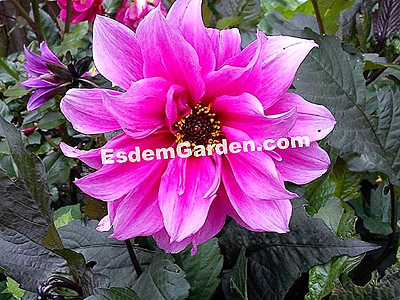 Wintering dahlias