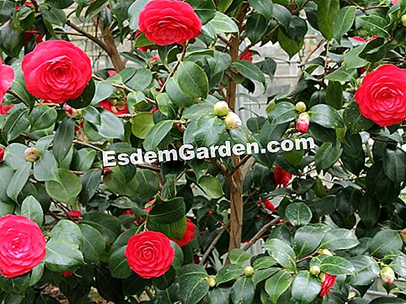 The Camellias of Japan dari taman saya