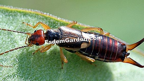 Earwigs against aphids