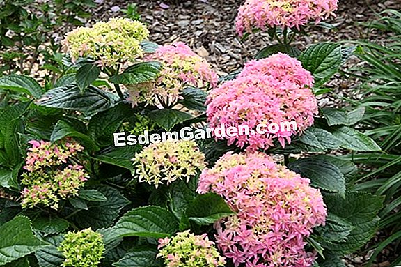 Temui YOU & ME® Hydrangea 'Together'