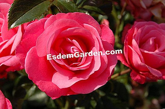 Kordes Roses Without Strain®: easy-going en bloeiend!
