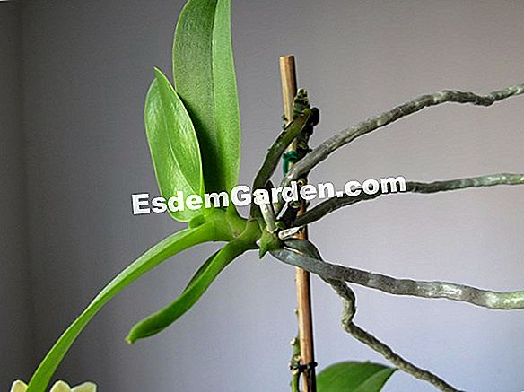 False zamia, Plant ZZ