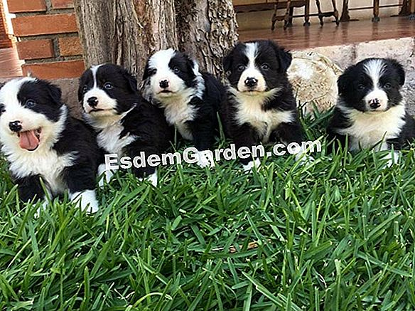 Border Collie, un cioban