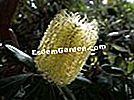 Banksia of Glass House Mountains, Banksia conferta at Gonzalez Park ตั้งอยู่ใน Bormes-les-Mimosa