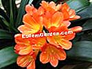 Clivia, Lily of St. Joseph, Lily of Natal