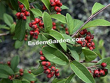 Cotoneaster with willow leaves