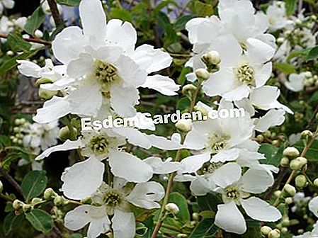 Exochorde of Wilson, Tree Beaded