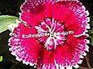 Chifle din China (Dianthus chinensis)