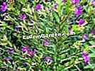 Heather palsu, Bintang Mexico, Heather Mexico, Cuphea hyssopifolia
