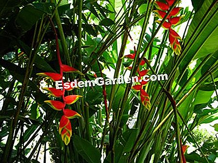 Rosy Heliconia, Lobster Claw
