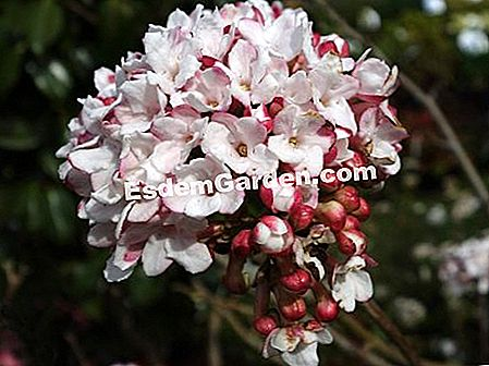 Bitchiu Viburnum