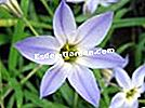 Iphéion uniflorum, Ipheion uniflorum
