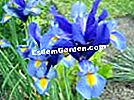 Iris bulbous, iris dari Holland