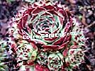 석회석 houseleek, Sempervivum calcareum 'Mrs Giuseppi'