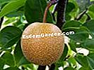 Nashi, pir Asia, Pear Apple, Pyrus pyrifolia
