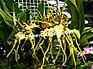 Spider Orchid, Brassia