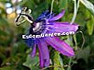 Passionflower 'Amethyst', Passionflower, Passiflora violacea 'Amethyst'