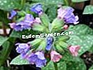 Pulmonary sprinkled, Pulmonaria saccharata 'Mrs Moon'
