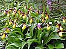 Cypripedium calceolus, Slipper-of-Venus europeo