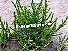 유럽 ​​Salicornia, Sea Pickerch, Stonecerch, Salicornia europaea