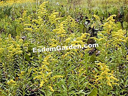 Giant Solidago, Giant Goldrute, Giant Solidage