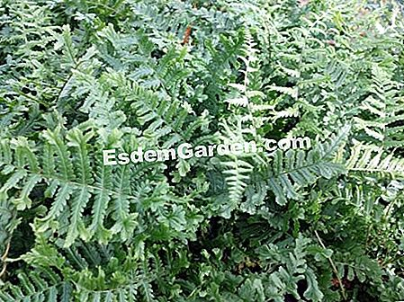 Fiddle masculino Crazy Cristata The King, Fleshhy Dryopteris