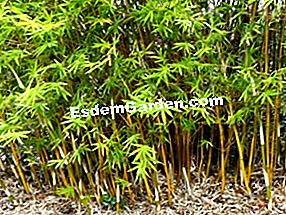 Farbige Bambusse: Phyllostachys