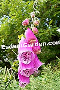 Digitale - digitalis purpurea