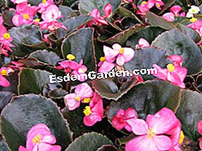 Begonia semperflorens: semperflorens