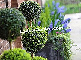 Boxwood dipotong topiary