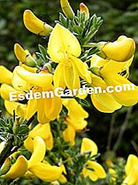 Cytisus scoparius - floare