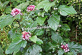 Clerodendron: clerodendron