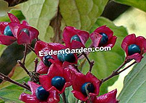 Clerodendron: sunt