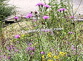 Knapweed: care