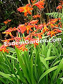 Crocosmias tutam