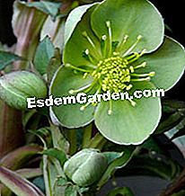 Hellebore - helleborus x sternii 'Boughton beauty'
